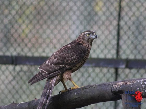 Foto: Centro de Recuperação de Animais Selvagens do Hospital Veterinário da UTAD (CRAS-HVUTAD) Devoluções à Natureza